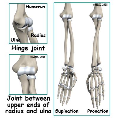humerus bone anatomy. humerus (upper arm one)